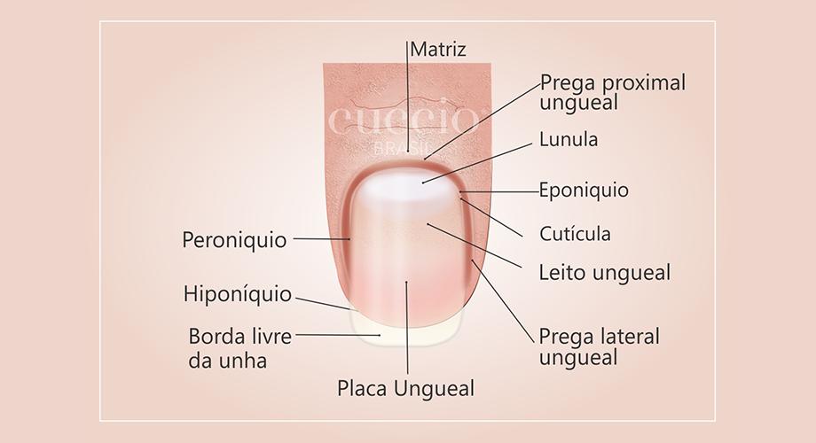 Anatomia Das Unhas